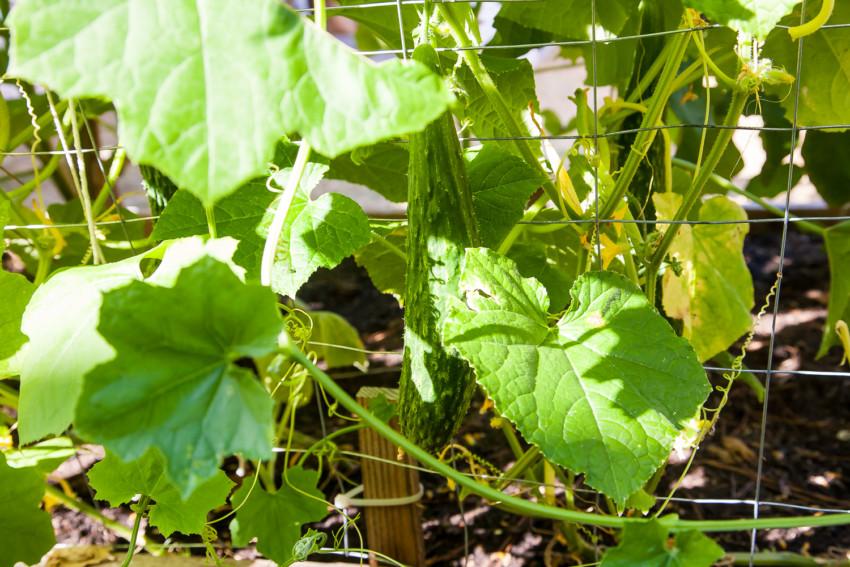 Chinese Cucumber growing in garden