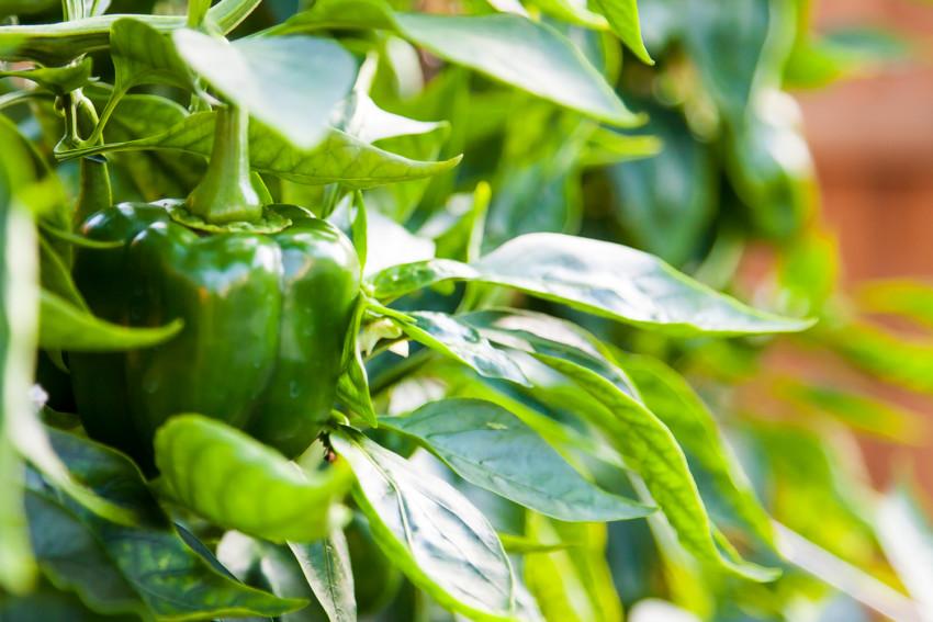 Organic Peppers growing in garden